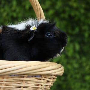 Pourquoi il ne faut pas avoir un seul cochon d'inde?