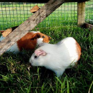 Choisir une cage pour son cochon d'inde: nos conseils