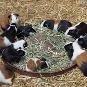 L'alimentation des cochons d'inde