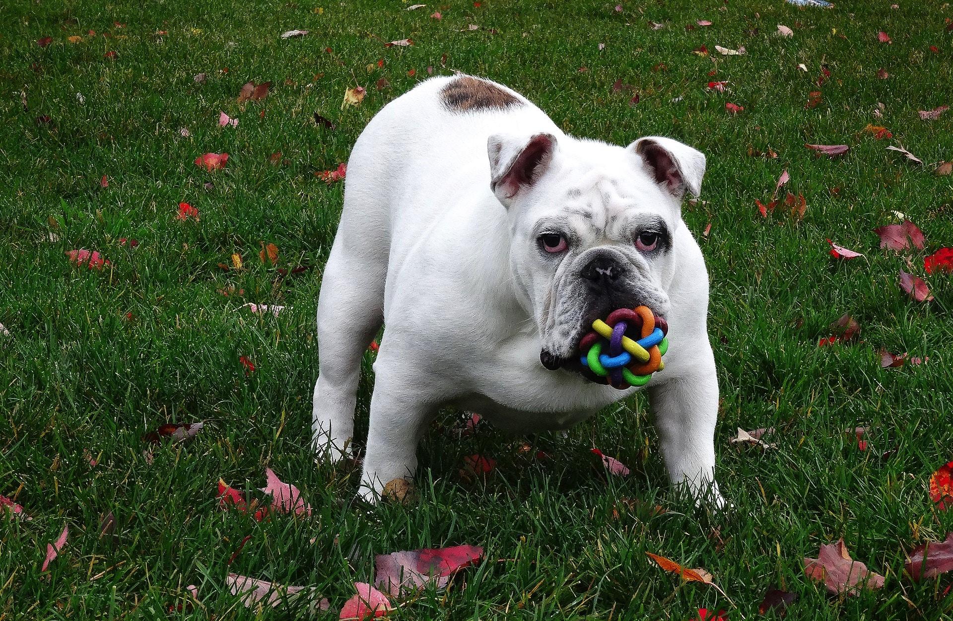Pourquoi acheter des jouets pour le bien-être de votre chien ?